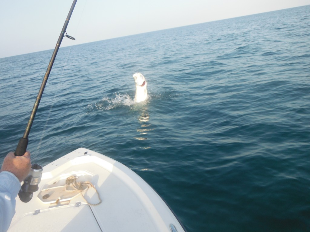 Tarpon fishing charter sarasota for Tarpon fishing charters